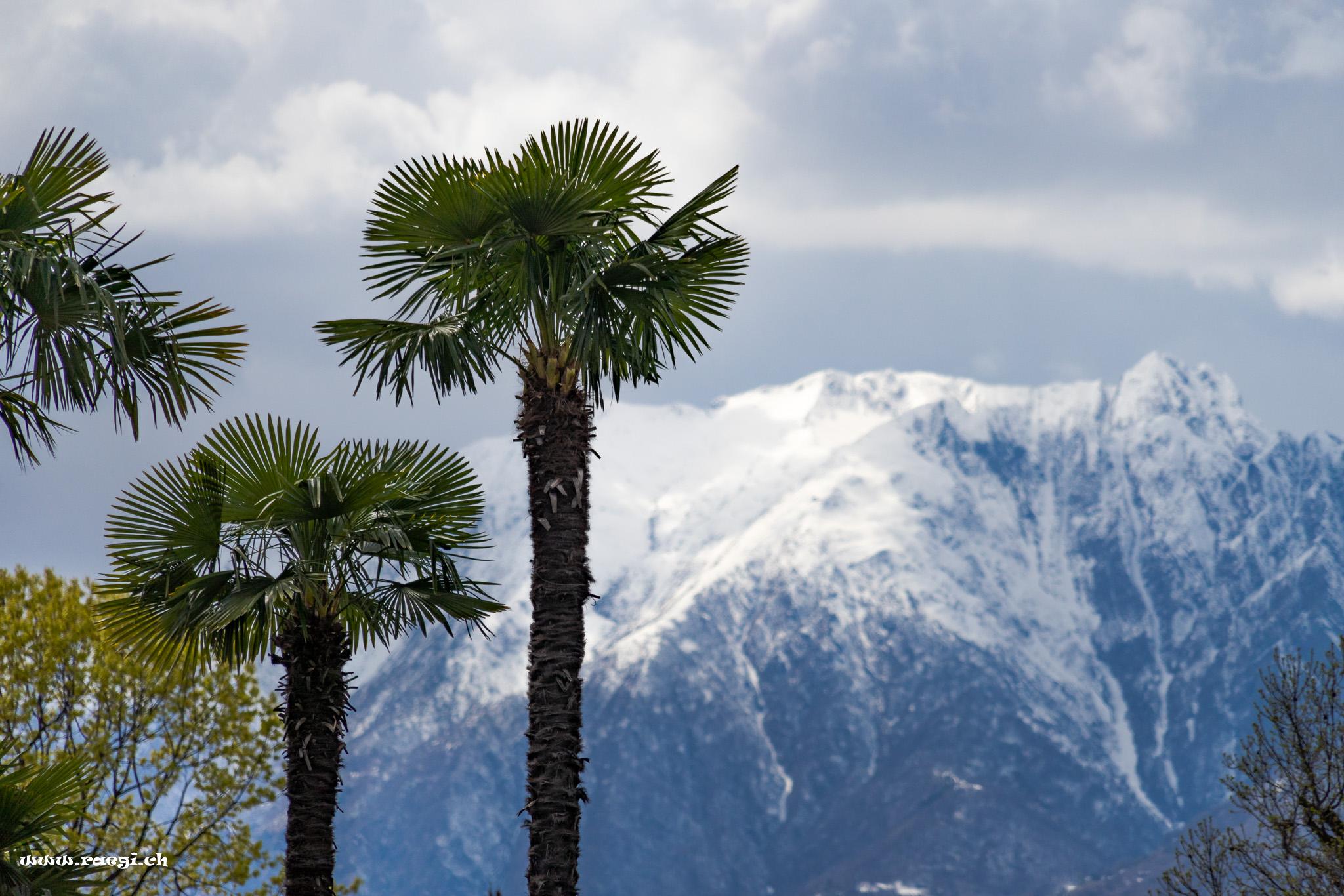 Palms and Snow