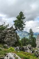 Kiefer auf Felsen