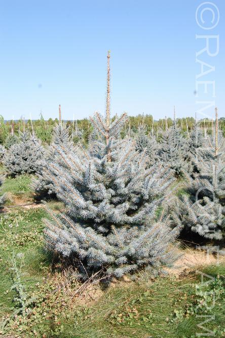 Picea pungens Blue Diamond