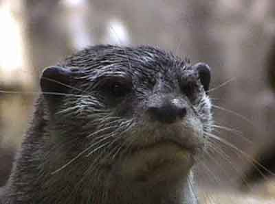 A picture named Otter-2.jpg