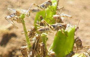 Locust Swarm Eating Crops