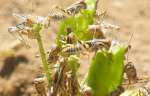 Locust Swarm Eating Crops
