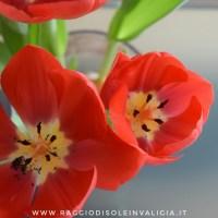 Coltivare i tulipani in acqua