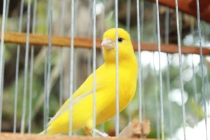 a canary in a cage reminding us of the canary in the coal mind alerting guidance for when it is toxic for humans to remain in the mine