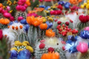 beautiful field of colorful cactus with multi-colored flowers and thorns demonstrating opposites