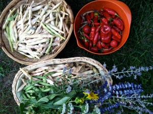 Fall Harvest - Black beans, red beans, purira hot peppers, wildflowers.  September 2012.
