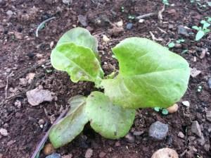 Lettuce, September 2012, Livingston, Piscataway