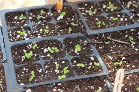 Seedlings emerging - March 2014