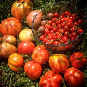 Wide variety of tomatoes grown from donated and saved seed in the summer of 2014.