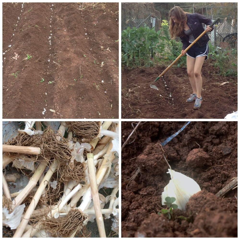 Photos from Raíces EcoCulture garlic planting day. D.I.Y. Friday, November 6, 2015