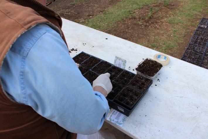 Planting herb seeds.