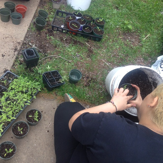 Garden Crew member and Raíces volunteer and friend Rocío potting tomato plants for our annual seedling sale.