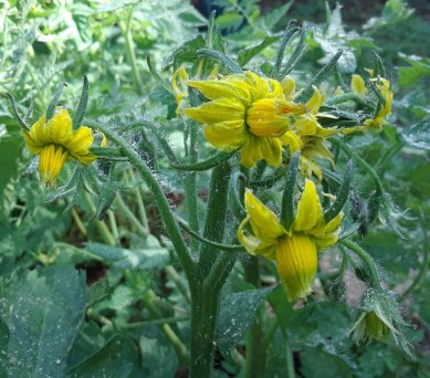 Heirloom Tomato Blossoms