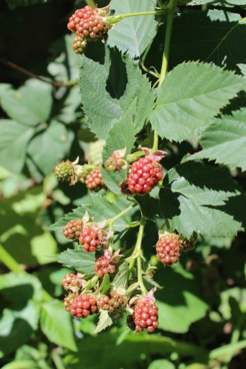 This will be our first blackberry harvest