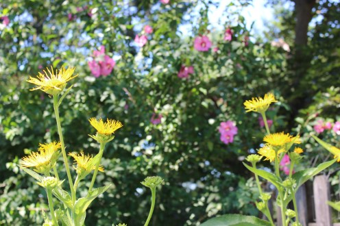Elecampane and Rose of Sharon
