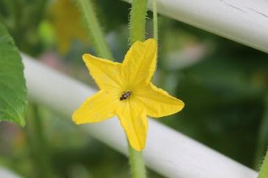 Pollinator in a cucumber flower