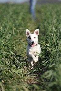 dog runnng in grass
