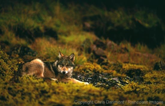 Coastal Wolf lounging in sunlight