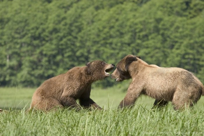 Two grizzlies face off in the long grass on the West Coast