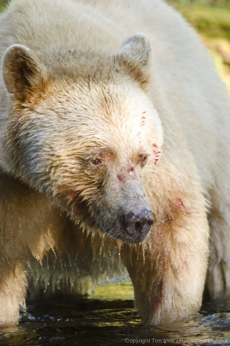 Photo of a spirit bear with blood from a salmon