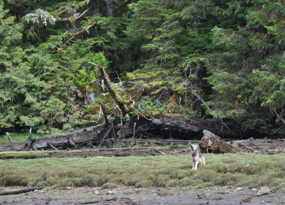 A young wolf appears in the estuary and lets out a howl