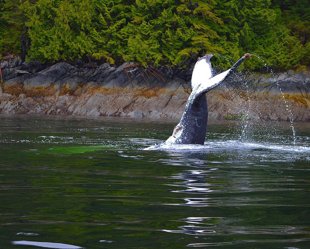 The tale of a Humpback sticks out of the water.
