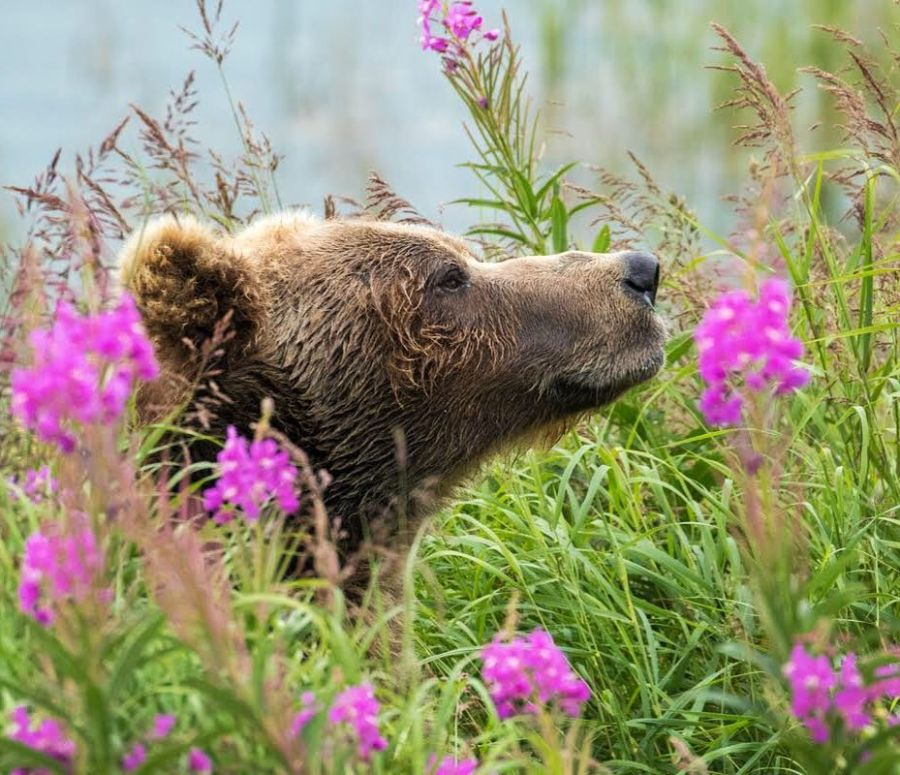 A grizzly bear smells the air in a field of grass and flowers.