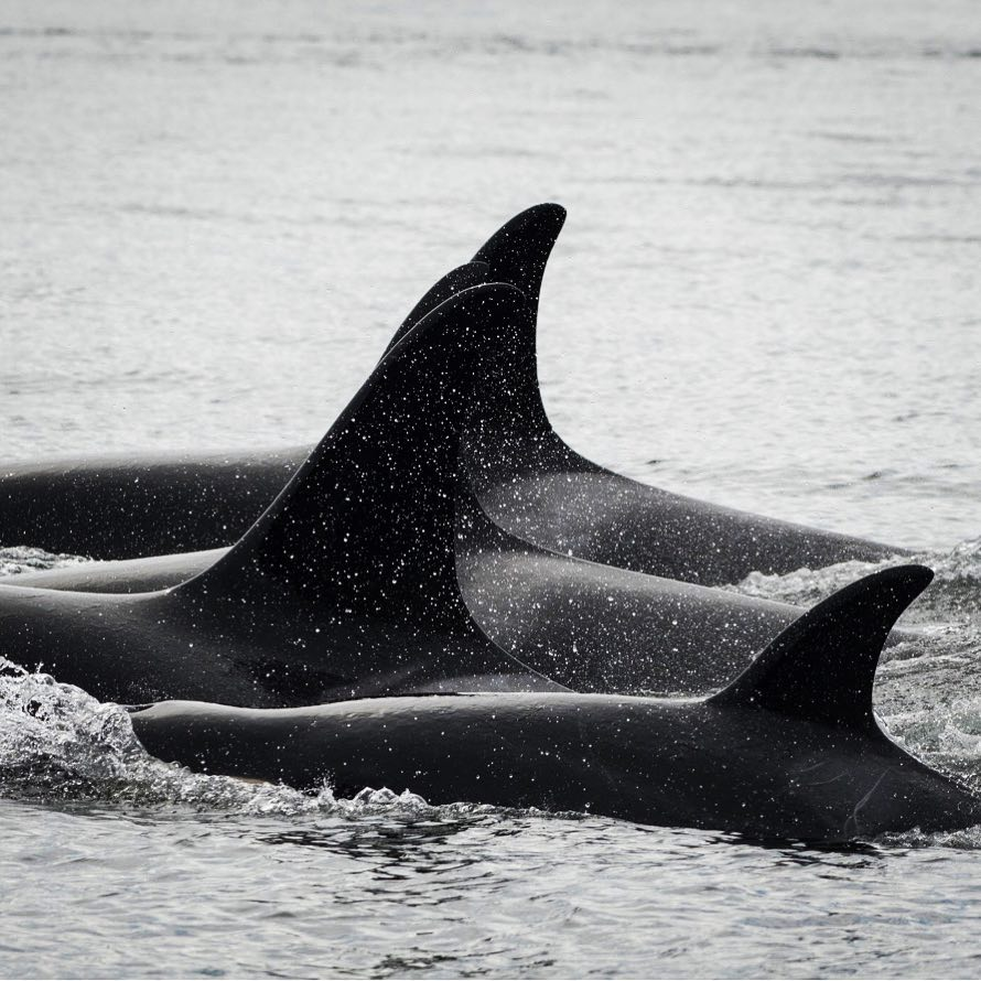 A pod of Southern Resident killer whales traveling in the Salish Sea