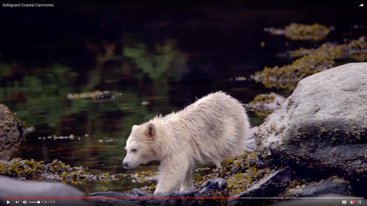 A white bear steps down right by the water in the Great Bear Rainforest.