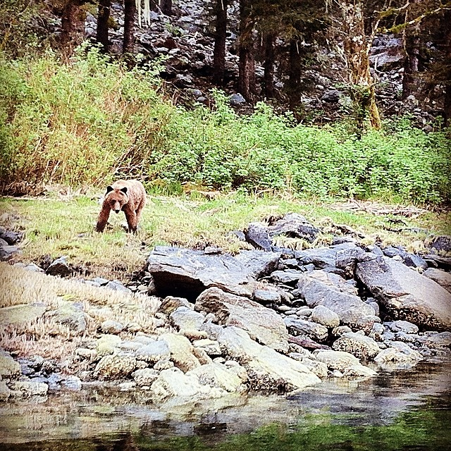 Grizzly bear walking over rocks on all fours on the other side of a stream