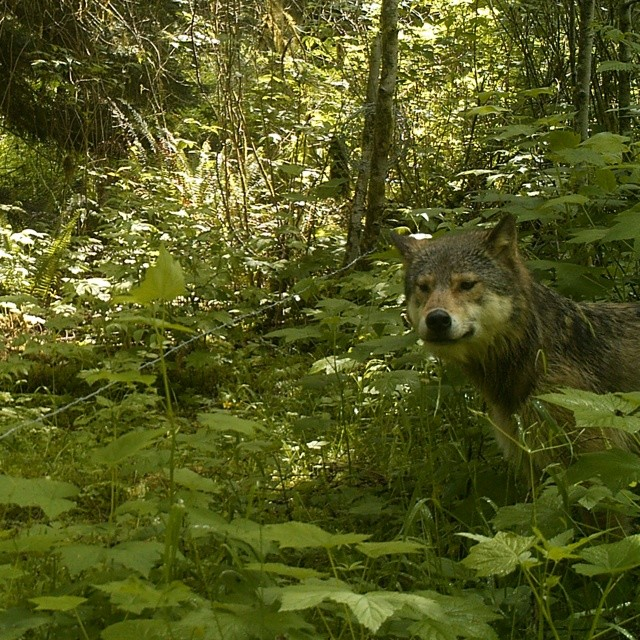 A medium sized light brown wolf centre right of picture poses in the Great Bear rainforest