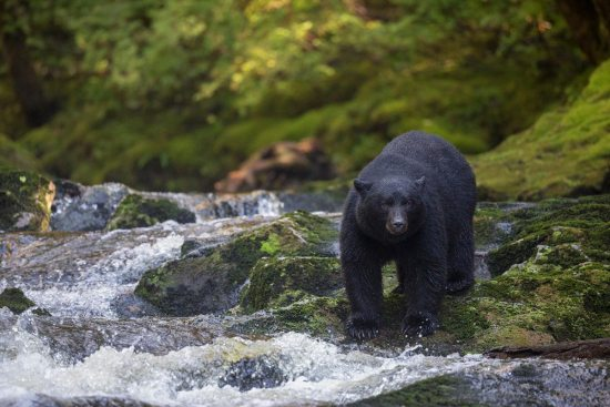 A black bear stands poised beside a creek and waterfall in the forest.