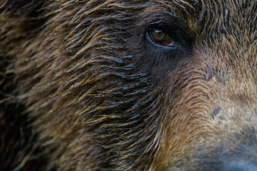 A close up of a Grizzly bear face and eye.