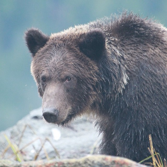 Beautiful grizzly we saw in Fjordlands