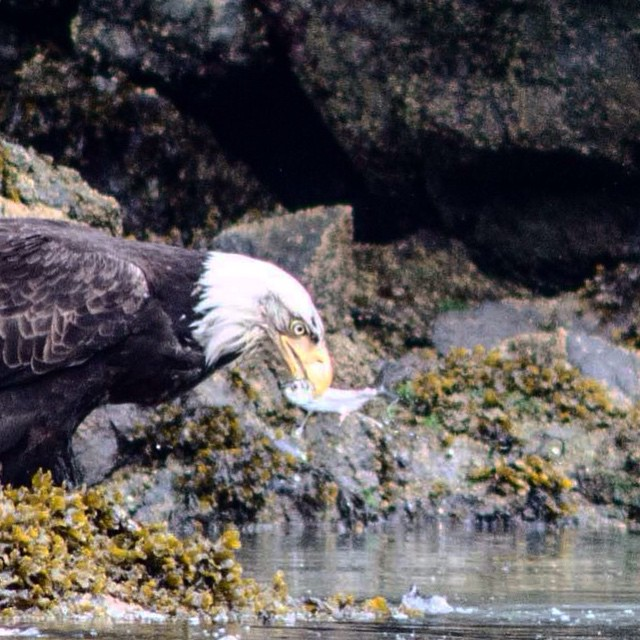 Close up of a bald eagle with herring in its mouth