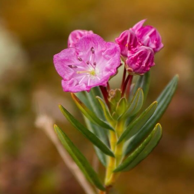 Pink bloom of bog-laurel in Bella Bella