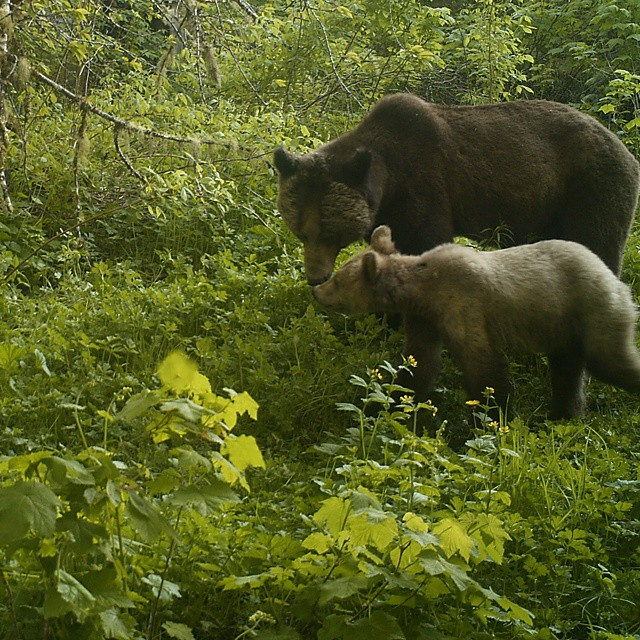 Mama grizzly and cub nuxxling each other surrounded by green forest