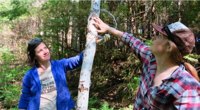 Two Raincoast staff biologists set up a bear hair snare on a tree