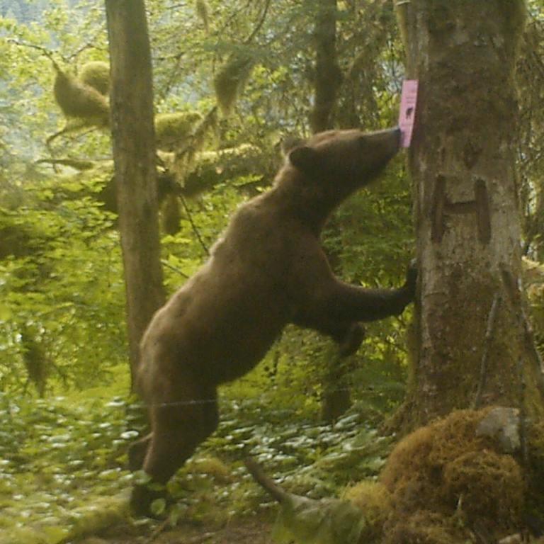 Raincoasts' non-invasive bear research