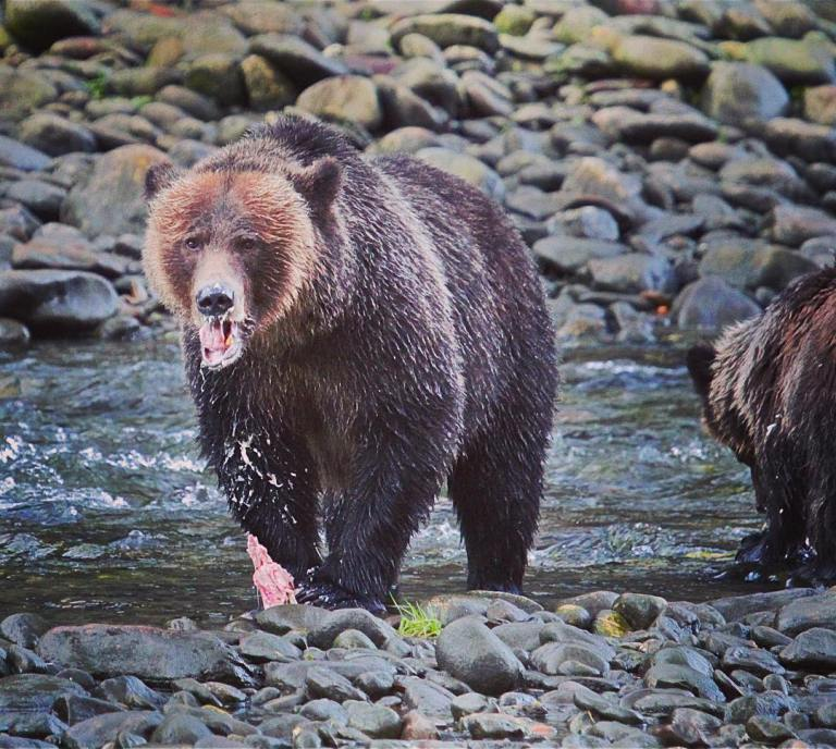Searching for grizzly bears