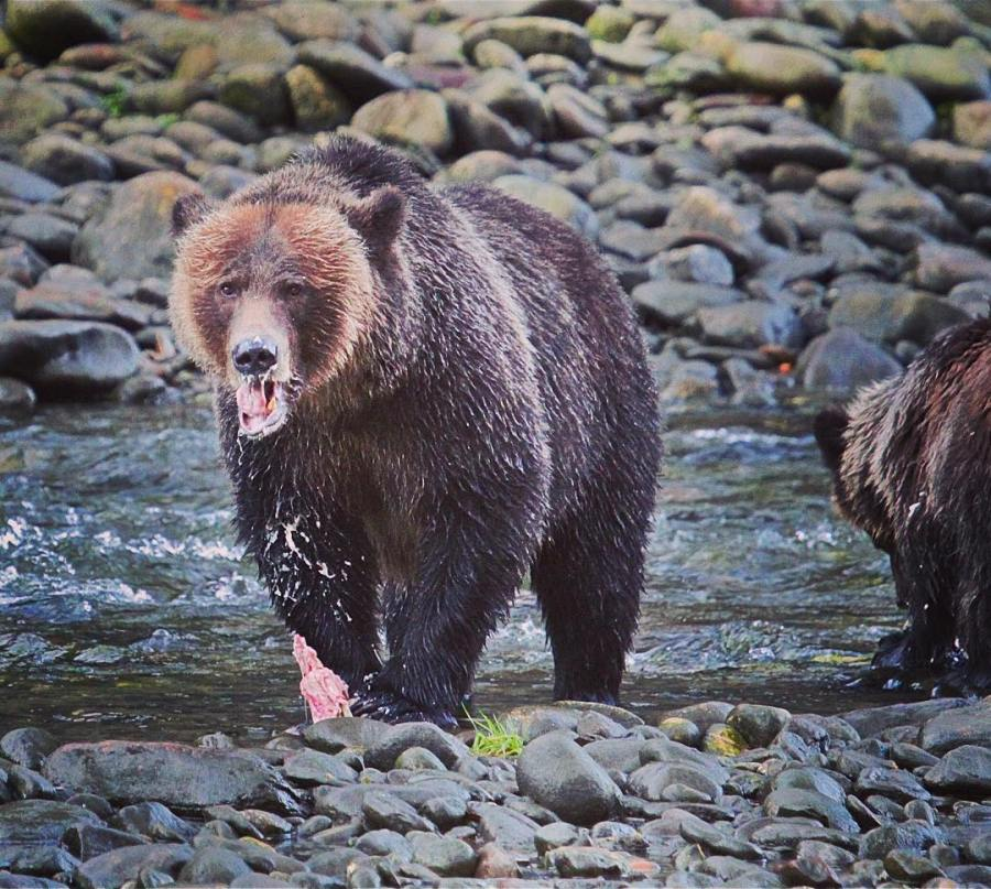 Grizzly bear looks at camera while walking on the rocky banks of a river in the Great bear Rainforest