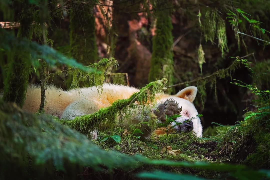 Beautiful photograph of a white spirit bear sleeping amidst green forest