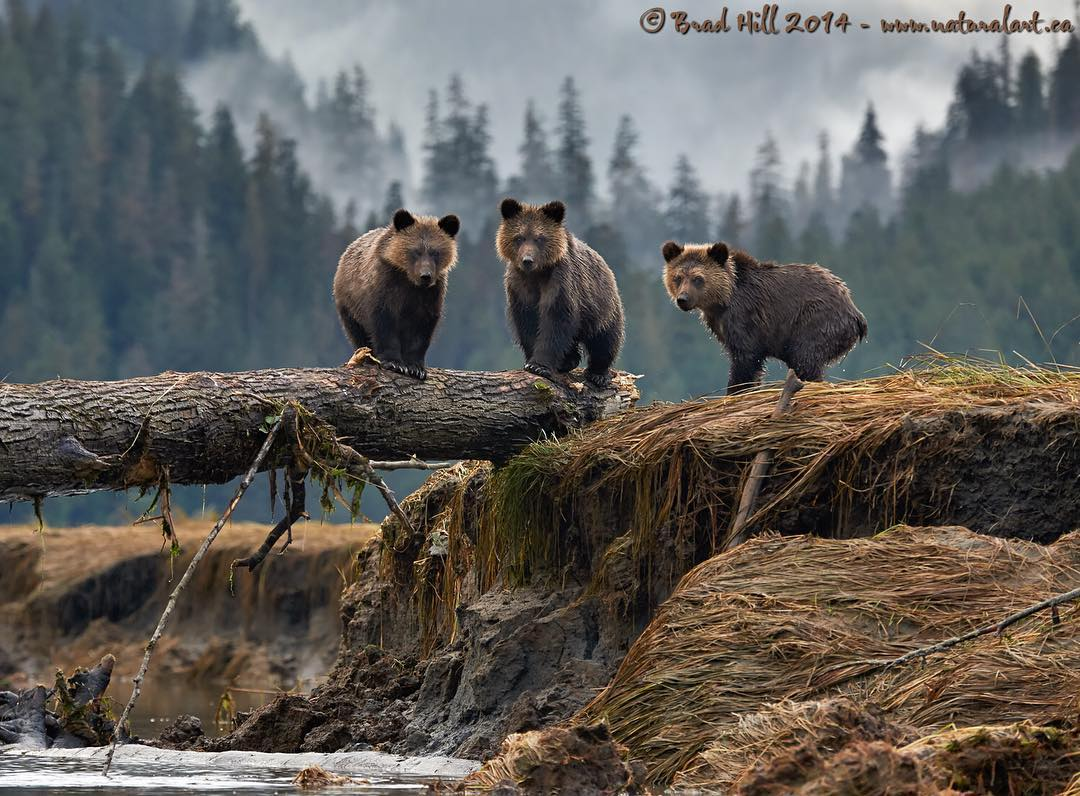 three bears perched on a log look straight into the camera.
