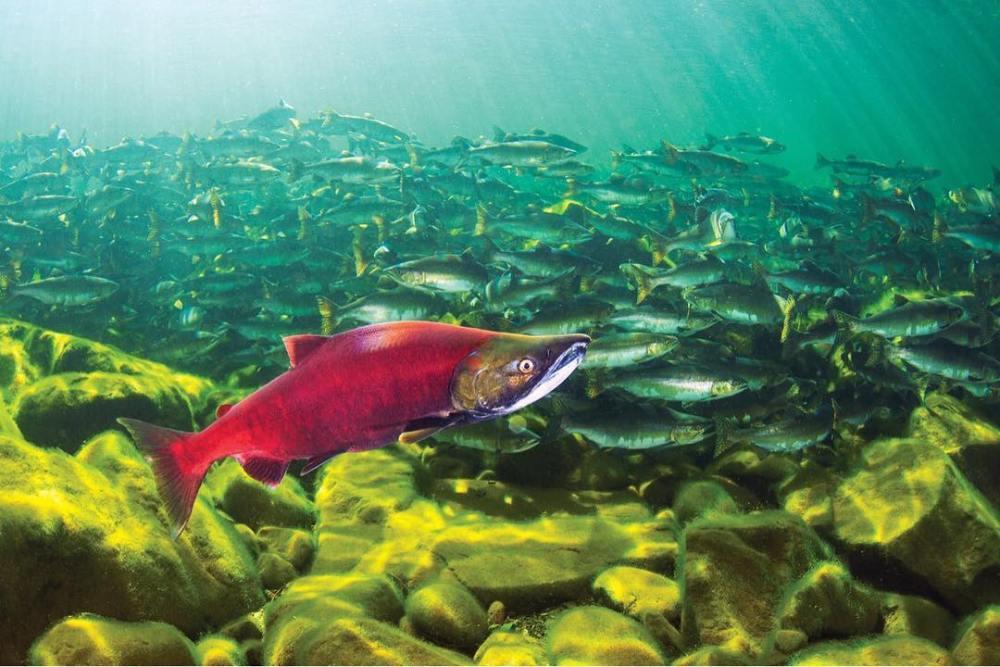 How do salmon declines affect coastal bears?