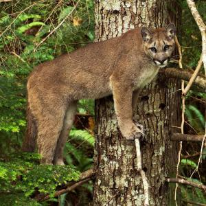 cougar standing on a tree looking straight at the camera.