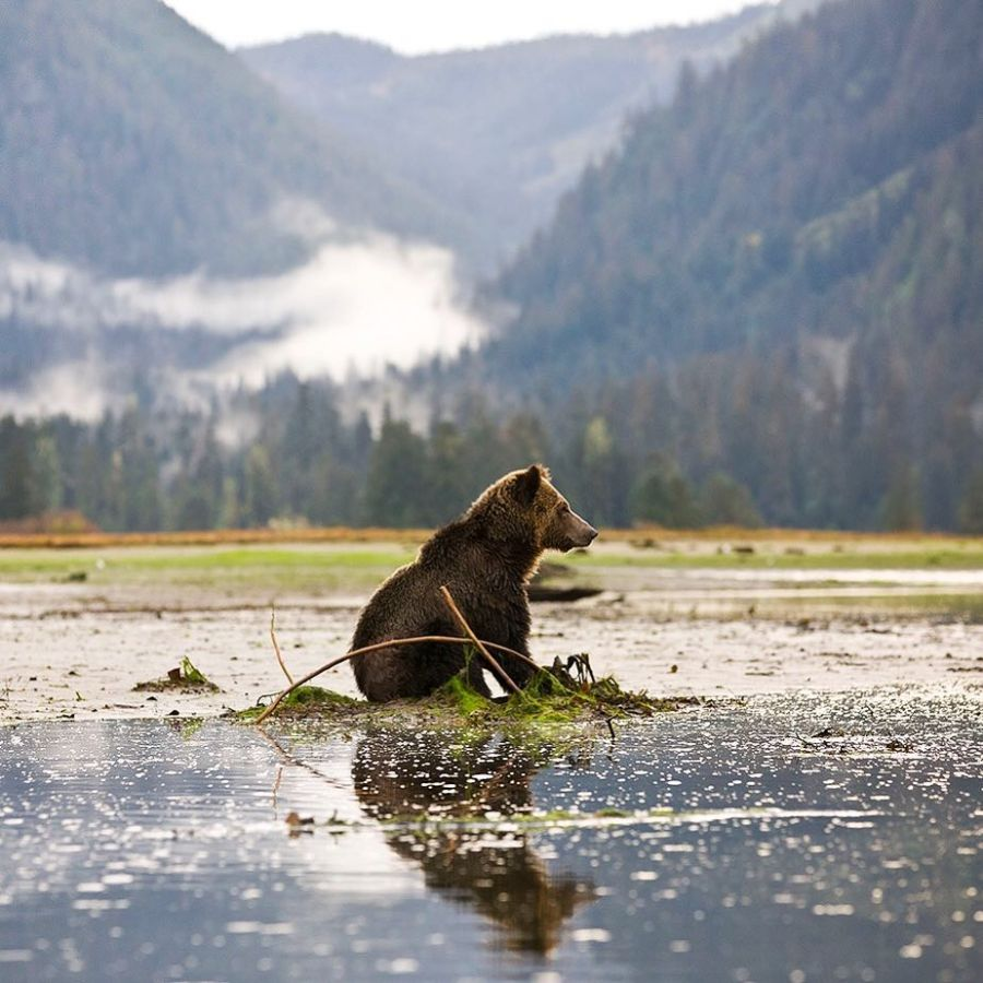 A Grizzly Bear sits down in the middle of an intertidal area filled with water and mud.