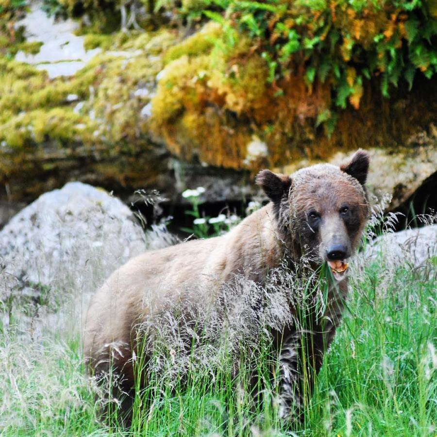 A grizzly bear looking at the camera from behind tall green grass with its mouth slightly agape.