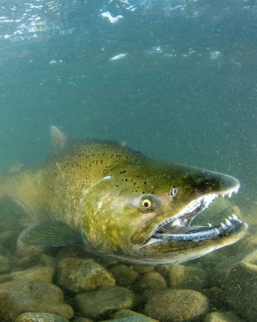 An underwater photo of a large green salmon. It's face is close to the camera with its body receding into the murky distance.