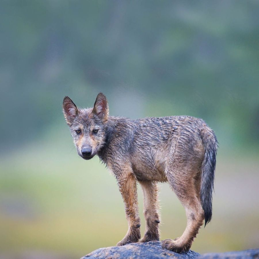 A young wolf standing on a rock turning its head towards the camera. The background is blurred.