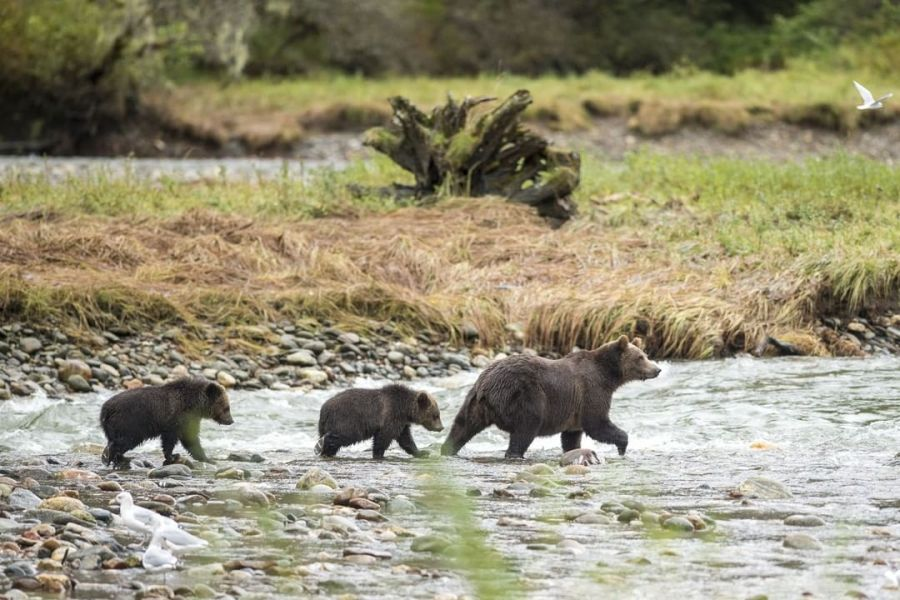 Three grizzly bears - a mother and her cubs - trot across a river with a grassy beach behind them.